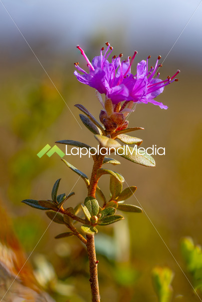 Laps alpros, Rhododendron lapponicum , Abisko nationalpark :Rhododendron lapponicum - Lappland Media