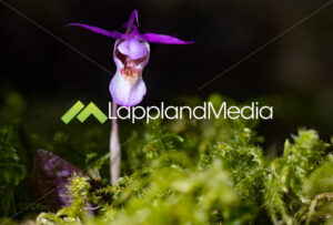 Norna (Calypso bulbosa):Orkid (Calypso bulbosa) - Lappland Media