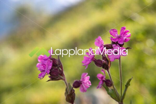 Rödblära (Silene dioica) :Silene dioica - Lappland Media