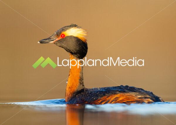 Svarthakedopping, Luleå (Podiceps auritus) :Horned Grebe (Podiceps auritus) - Fotograf | Film | Bildbyrå | Fotoresor | Souvenirer | Luleå | Abisko | Norrbotten | Lappland Media AB